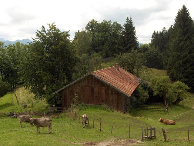 Kühe vor der Senkele-Alm
