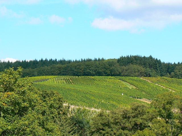 Weinberg, Kiedrich (Vineyard, Kiedrich)