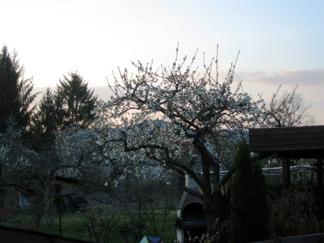 Blossom at sunset