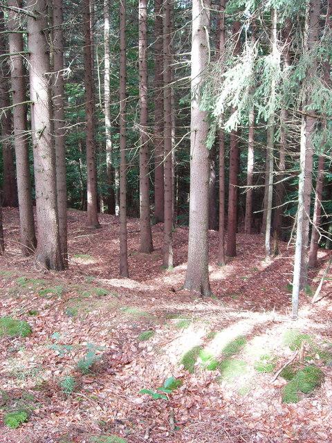 Pine woods above Folkenbach
