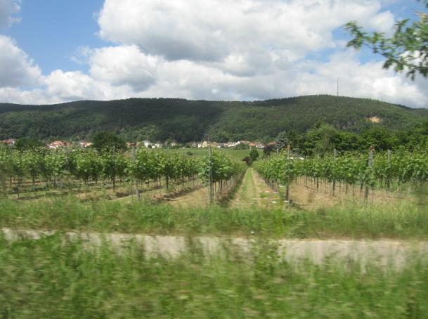 Weinberg und Pfälzer Wald