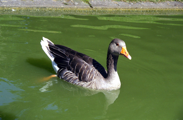Duck at Karlsruhe Stadtgarten