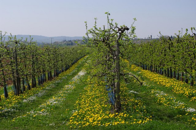 Obstbaumplantage