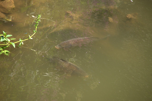 Karpfen (Cyprinus carpio) in der Tauber, Weikersheim (Carp (Cyprinus carpio) in the Tauber, Weikersheim)
