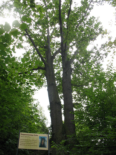 Doppelstämmige Eiche (Double-trunk oak tree)