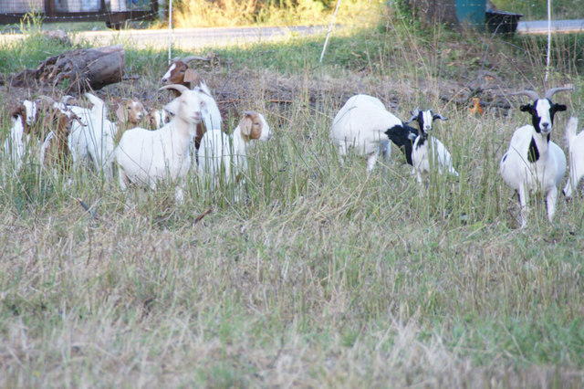 Ziegen at Markelsheim (Goats at Markelsheim)