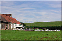 Gänse in Lotzbach