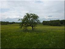 Apfelbaum zwischen Reutlingen und Ohmenhausen