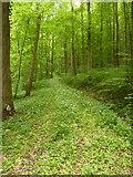 Mit Bärlauch bewachsener Weg im Wald südlich von Ohmenhausen