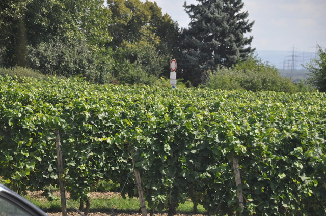 Hochheim am Main : Vineyard