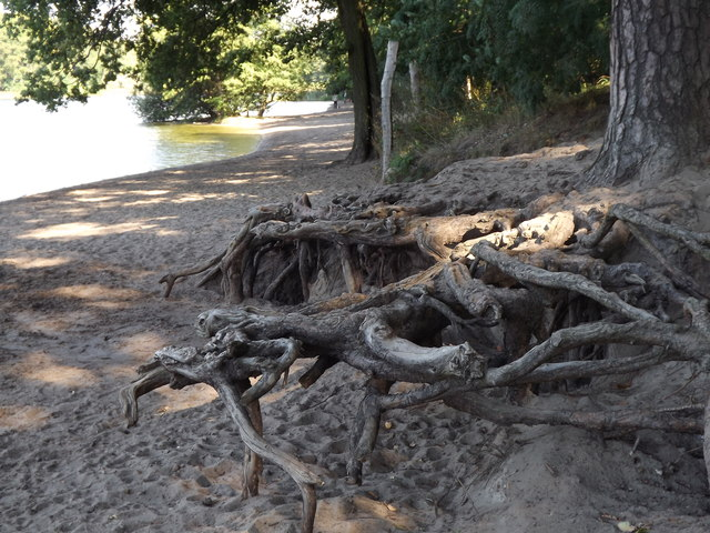 Grunewaldsee - Baumwurzeln (Tree Roots)
