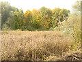 UUU8007 : Schilf auf dem Buschgrabensee (Reeds on Buschgraben Lake) von Colin Smith