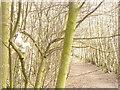 UUU8607 : Elf in Baum (Elf in a Tree) von Colin Smith