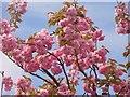 UUU8408 : Teltow - Kirschblueten (Cherry Blossom) von Colin Smith