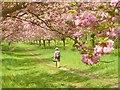 UUU8407 : Teltow - Kirschbaumallee (Cherry Tree Avenue) von Colin Smith