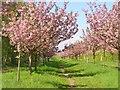 UUU8407 : Teltow - Kirschblueten (Cherry Blossom) von Colin Smith
