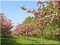UUU8506 : Teltow - Kirschbaumallee (Cherry Tree Avenue) von Colin Smith