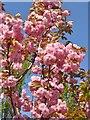UUU8607 : Osdorfer Strasse - Kirschbluete (Cherry Blossom) von Colin Smith
