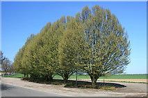 Bäume am Ortsausgang Immerath