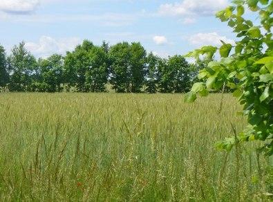 UUT8494 : Loewenbruch - Weizenfeld (Wheat Field) by Colin Smith