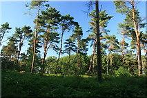 Kiefernwald in der Teverener Heide