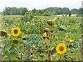 UUU9606 : Grossziethen - Sonnenblumen (Sunflowers) von Colin Smith