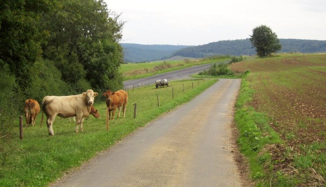 Cattle near the K92