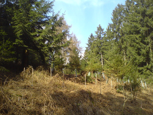 Neupflanzung in einer Lichtung am Studentenweg (Newly planted trees in a clearing on Studentenweg)