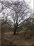 Bewaldung auf dem Weyerberg, Worpswede